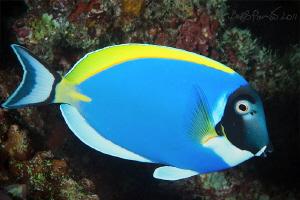 Blue surgeon fish in Maamigili Beyru - South Ari Atoll by Boris Pamikov