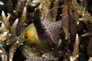 Pajama Cardinalfish hiding in the hard corals. by Larry Polster
