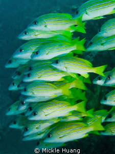 MARCH Bluestripe snappers Similan islands Thailand by Mickle Huang