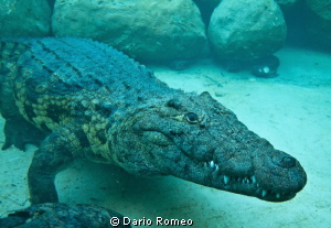 Croco, Nikon D90, 18mm - Natural light by Dario Romeo