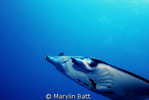 Manta on a fly by by Marylin Batt
