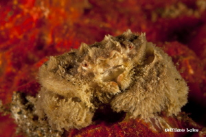 Teddy Bear Crab by William Loke