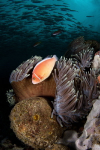 jacks and clown fish by Paolo Isgro