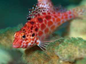 Pixie Hawkfish, Tulamben by Doug Anderson