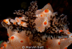 Close up of the gills of this orange and white nudi by Marylin Batt