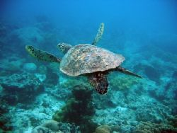 Picture of this turtle was taken last may in Seychelles w... by Sander Kuulkers