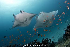 Magnificent Mantas by Christine Hamilton