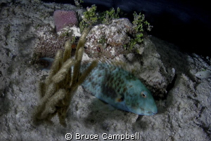 Sleeping parrot fish by Bruce Campbell