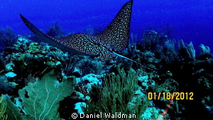Eagle Ray shot taken about 3 ft from Eagle Ray about 80 f... by Daniel Waldman
