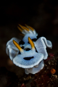 nudi at kirbys rock - Anilao by Paolo Isgro