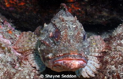 Scorpion fish taken close up at Hahei New Zealand by Shayne Seddon