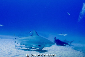 Watching all of the bull sharks by Bruce Campbell