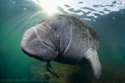 Fuzzy nose Manatee,........Keeping warm during the winter... by Mike Ellis