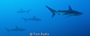 Silver Tip & Galapagos Sharks