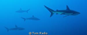 Silver Tip & Galapagos Sharks Roca Partida, Mexico by Tom Radio