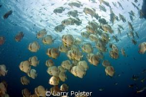 Schooling spadefish in Raja Ampat by Larry Polster