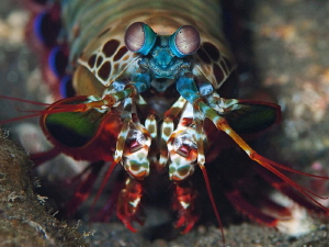 Peacock Mantis Shrimp, Tulamben. by Doug Anderson