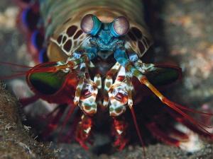 Peacock Mantis Shrimp, Tulamben. by Doug Anderson