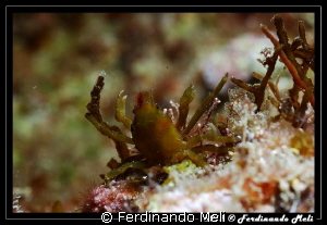 A very small crab. by Ferdinando Meli