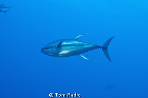 Yellow Fin Tuna (with silhouette of hammerhead in backgro... by Tom Radio
