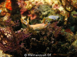 Nudibranch at Dead man Rock, Komodo Island by Melriansyah Df