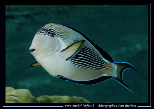 Surgeon Fish in the water's of the Red Sea... :O)... by Michel Lonfat