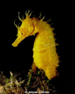 Sea horse Hippocampus guttulatus by night- by Antonio Colacino