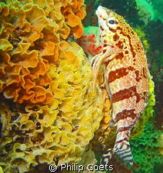 Barred Fingerfin on Lacy False Coral - Phluffy Reef, Moss... by Philip Goets