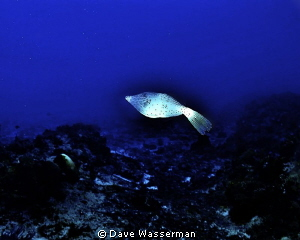 I love this fish it followed me everywhere during the dive! by Dave Wasserman