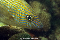 Blue Stripped Grunt on the Little Coral Knoll off the bea... by Michael Kovach