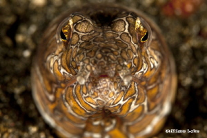 Snake Eel by William Loke