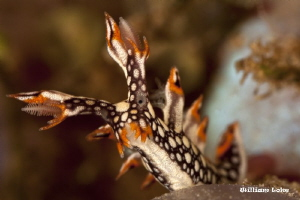 Bornella Nudibranch by William Loke