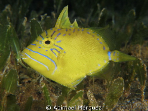 Queen Triggerfish Juvenile by Abimael Márquez