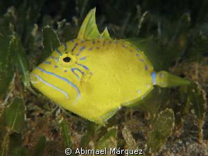 Queen Triggerfish Juvenile by Abimael Márquez