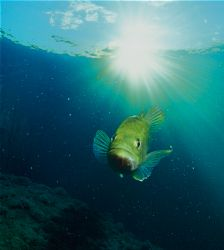 bass in freshwater.f100 and 18 mm. by Gregory Grant