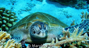 Sleeping Turtle by Marylin Batt