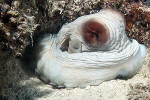 master of camouflage / reef octopus in Miyaru Ga Thila by Boris Pamikov