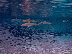 5 Blacktips hunting by Spencer Burrows