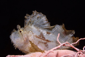 Jumping Sheet III  that smal Leaf Scorpionfish was on a ... by Jörg Menge