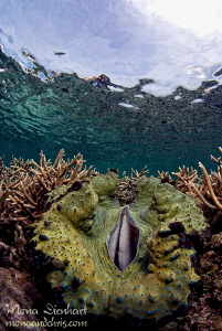 giant clam below the surface by Mona Dienhart