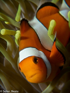 Clownfish at Alam Batu housereef, Taken with Canon G12 an... by Beate Seiler