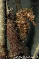 Seahorse. Hyppocampus guttulatus. by Francesco Pacienza
