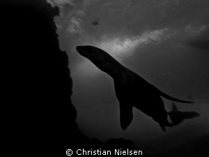 Sealions in silhouette. Very difficult conditions for pho... by Christian Nielsen