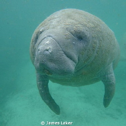 Manatee by James Laker