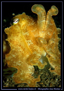 Cuttlefish in the water's of Lembeh Strait... :O)... by Michel Lonfat