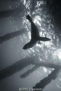 Sea Lion Silhouette, Just under Rye pier on Mornington pe... by Phil Davison