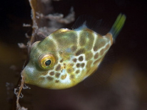 Juvenile leatherjacket hanging onto a piece of kelp while... by Doug Anderson