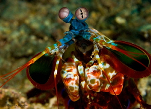 Mantis Shrimp by John Roach
