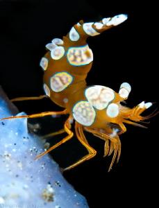 Thor shrimp by Mathieu Foulquié