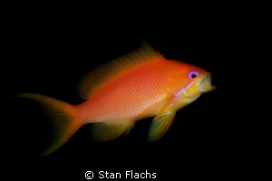 Anthias feeding by Stan Flachs
